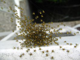 baby spiders -nest2-shot2 by xaliuqs
