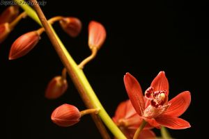 Orchid by dijitali