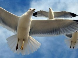 Seagull  Close Up by TheRomans