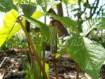 Jack in the Pulpit by posysnaps