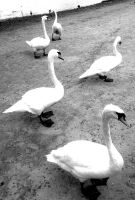 swans by Mckdirt