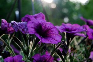 Purple Petunias by jennalynnrichards