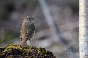 Hermit Thrush by GuillaumGibault