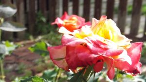Roses 081 by DarlingChristie