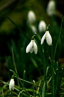 Snowdrops by akrPhotography