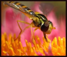 Hoverfly in Heaven-sapog-BUGS by macrophoto