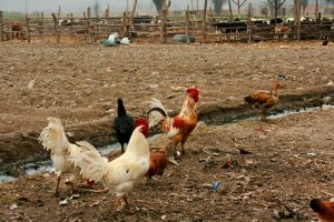 Chickens walk by aflores167