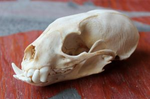 Greater Grison Skull by lupagreenwolf
