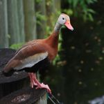 Ducky by RLH-Photography