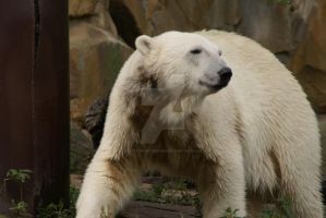 An Ice Bear by Hetti-Photograph