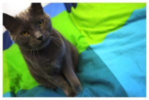 Grey Cat on Comforter by sapphiretiger-stock