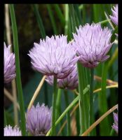 chives by kram666