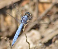 Dassia dragonfly August 2014 7 4 by melrissbrook