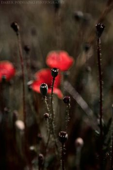 Poppies by MindShelves
