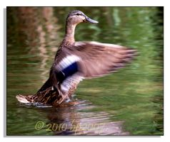 Cinnamon Teal - 2 by bp2007