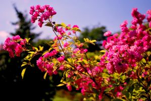 Dog rose by pourquoi25