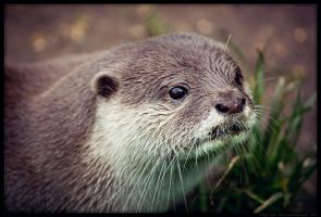 Otter I by Sato-photography