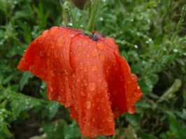 poppy after rain by andi40