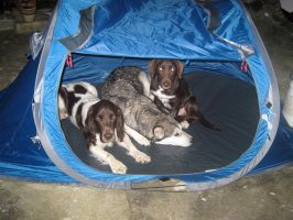 Three dogs and a Tent by DigiPhotography