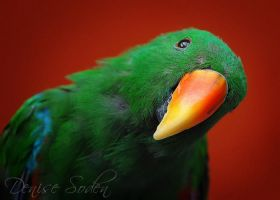 Eclectus Curiosity by DeniseSoden