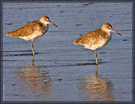 Willets 40D0044234 by Cristian-M