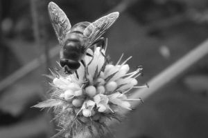 Black and White Bee by Embrace-The-Night