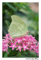 White Angled Sulphur by Tazzy-