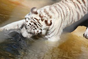 White Tiger 5 by muddrifter