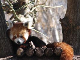 Red Panda by naro9