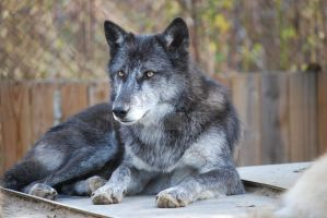 Blue Wolf by ManitouWolf