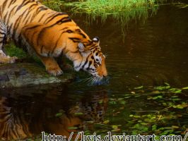 Siberian Tiger by hvis