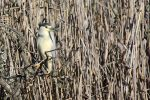 Night Heron on the riverbank. by MaresaSinclair