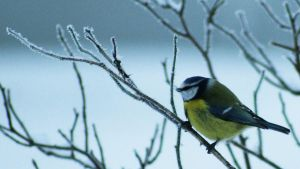 Blue tit by Yaskam