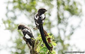 Magpie Shrike by AnneMarks