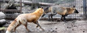 Fox Chase by Jack-13