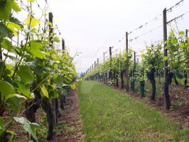 Vineyard by Khudozhnik