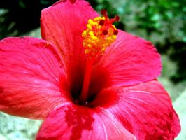 Hibiscus by live-young48