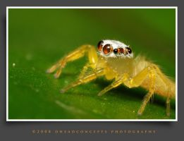 jumping spider 16 by dhead
