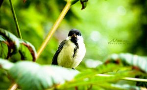 Parus major by Noncsi28