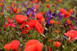 poppies field by emmagucci