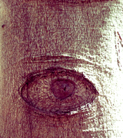 (the trees have eyes) by misspepita