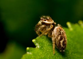 Jumping Spider by HalfBloodPrince71