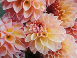 Dahlia II - Flowers from Rungis by Odessa-Himijo