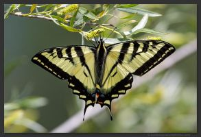Western Tiger Swallowtail by kootenayphotos