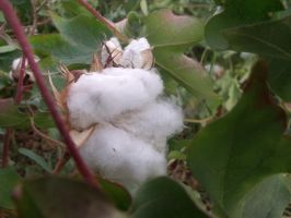 cotton by angelusmd
