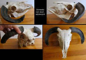Domestic Ram Skull by BluesCuriosities