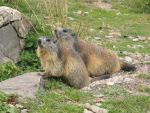 Wild animal stock 100-marmots by Momotte2stocks
