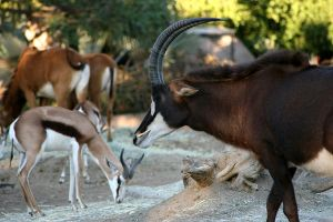 Sable Antelope by oOBrieOo