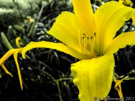 Yellow Belladonna Lily by RJShewmake