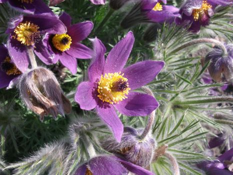 Pasque flower 01 by BlackEyesSnowAngel